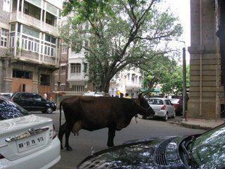 Cow in street, Mumbai, India